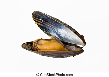 mussel - single blue mussel isolated on white background
