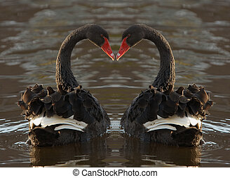 Romantic Swans - Black swan heart
