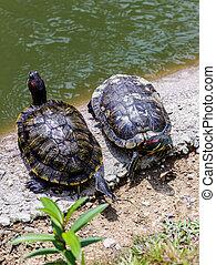 Two Turtles in the Sun - Two turtles in the sun on the edge...