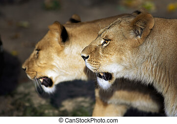 Two lions - close-up of two female lions walking together