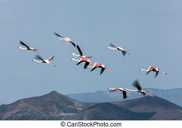 Flamingo flight - A group of flamingos are caught in a slow...
