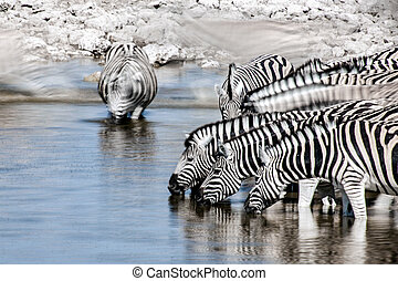 Zebra motion - Motion is captured as Zebras drink at a water...
