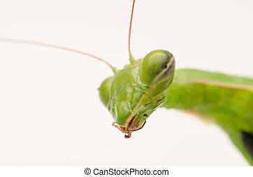 Praying Mantis Head Close Up On White Background
