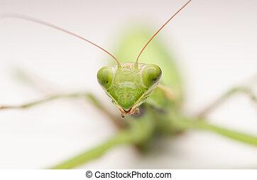 Praying Mantis Close Up Macro Details
