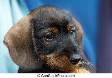 cute puppy - cute dachshund puppy