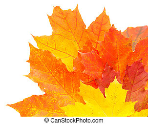 maple leaf - autumnal colorful leaves isolated
