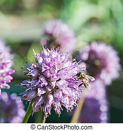 Honey bee on blue flower. - Macro shot of honey bee on blue...
