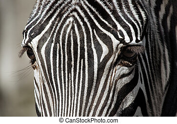 Zebra up close - Portrait of a Zebra