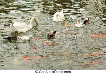 swan and duck with koi fish swimming in pond - swan and duck...