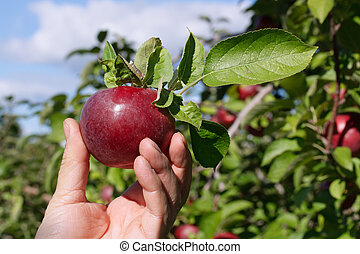 Freshly picked apple in an orchard