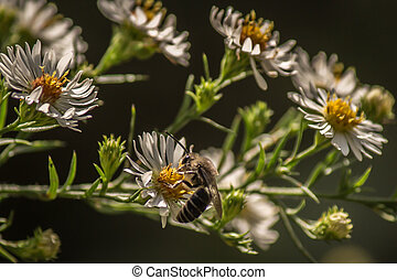 Bee sips nectar from a wildlower