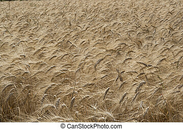 Cornfield - Ear of wheat in a cornfield in Conero Riviera