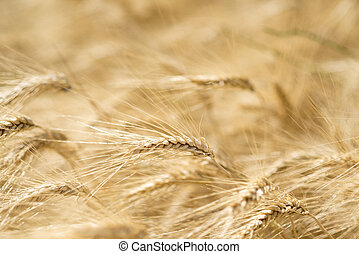 Spike of Wheat - Ear of wheat in a cornfield in Conero...