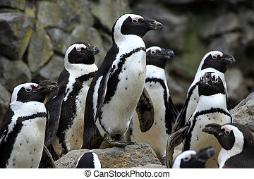 Penguins are non-flying seabirds