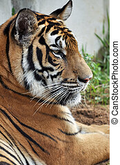 Bengal tiger - The Bengal tiger is the most numerous of the...