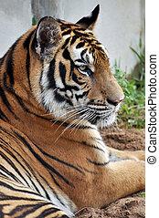 Bengal tiger - A Bengal tiger yawns at tiger training camp