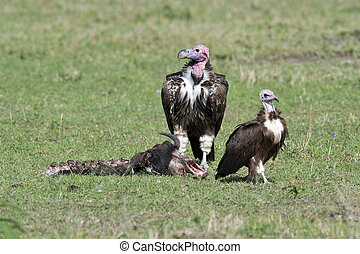 Two Lappet-faced Vultures with Prey - Two lappet-faced...