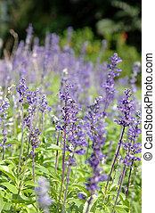 Purple Salvia - Field of Purple Salvia