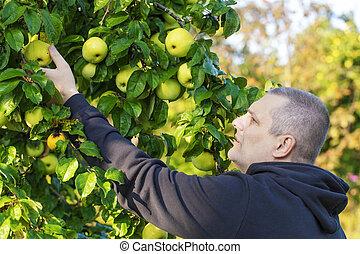 Man picking apples in garden