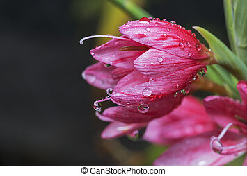 waterdrops on pink lily macro