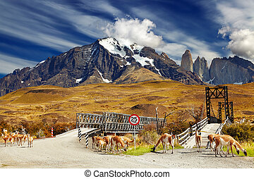 Torres del Paine National Park, Chile - Wild guanacos in...