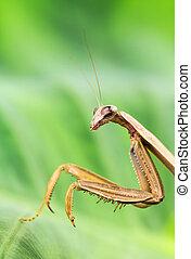 Close-up of praying mantis - Praying mantis against greenery...