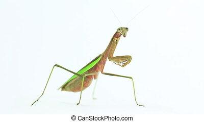 Full view of praying mantis - Adult praying mantis, full...