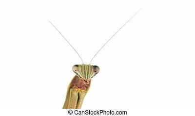 Praying mantis staring - Praying mantis suddenly turns to...