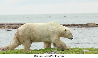 Polar Bear Walk Horizontal 1 - Curious Canadian Polar Bear...