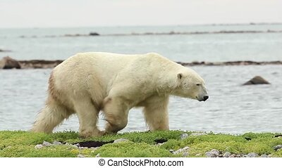 Polar Bear Walk Horizontal Full - Curious Canadian Polar...