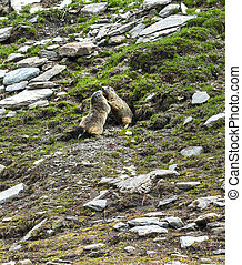 Colle dellAgnello: two groundhogs - Colle dellAgnello Val...