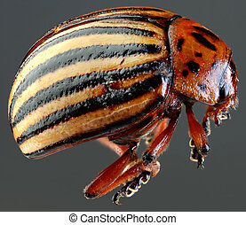Colorado Beetle Macro Cutout - Colorado Potato Beetle...