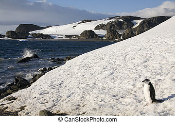 Chinstrap Penguin - South Shetland Islands - Antarctica -...