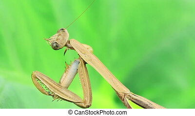 Praying mantis on green - Praying mantis grooming foot,...