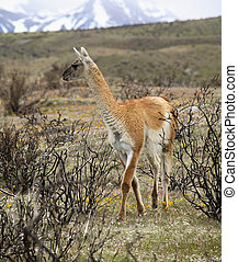 Guanaco - A type of Llama found in the Andes of South...