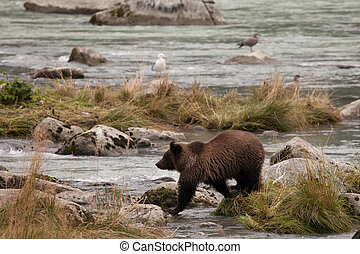 Young Alaskan Grizzly - Young Alaskan brown bear (grizzly)...