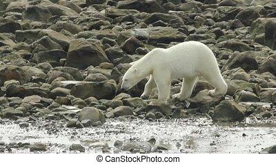 Polar Bear walks over Rocks 3 - Curious Canadian Polar Bear...
