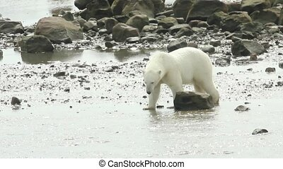 Polar Bear walks over Rocks 2 - Curious Canadian Polar Bear...