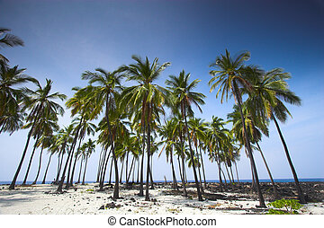 Palm grove - Grove of palm trees with blue sky background in...