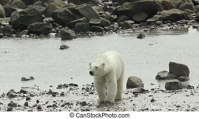 Polar Bear walks over Rocks 1 - Curious Canadian Polar Bear...