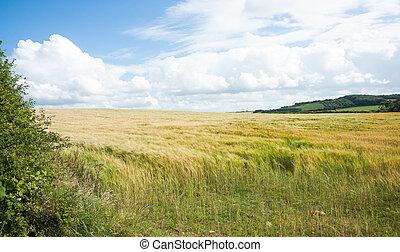 Golden fields.
