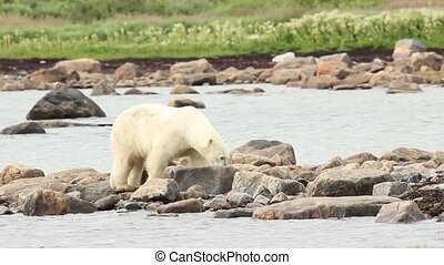 Polar Bear walks on a rocky shore - Curious Canadian Polar...