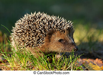 Hedgehog - Young hedgehog in natural habitat