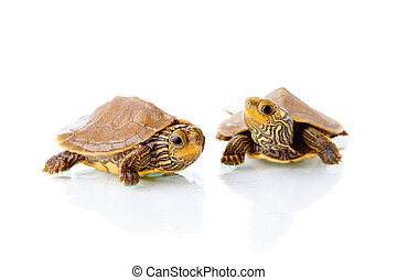 Baby turtles - Image of two baby Common Map Turtles against...