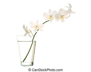 Orchid in vase - White orchids in vase on white background