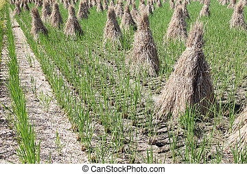 paddy straw on farmland, rice field after harvest