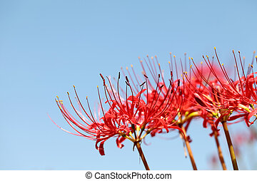 Red spider lily, lycoris radiata, and blue sky
