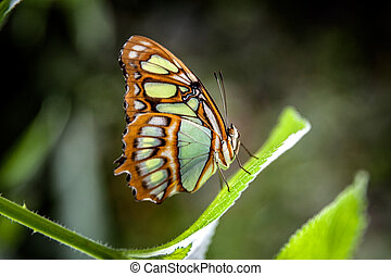 malachite butterflies (Siproeta stelenes) on leaf