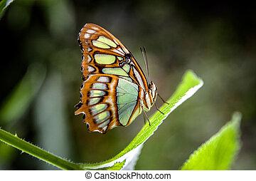 malachite butterflies (Siproeta stelenes) on leaf