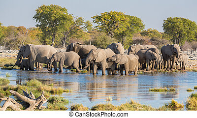 Elephants in Etosha - Group of Elephants drink at a...